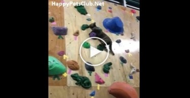 This Amazing Cat Is Climbing Wall , Like A Real Champion.