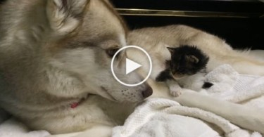 Dog Is Comforting A Little Scared Kitten. Incredible Video !