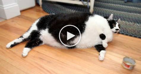 USA`s Fattest cat, Who Weighs 32 Pounds, Requires 2 Humans ...