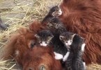 Little Kittens Playing With Their Best Friend - Pony .
