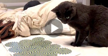 This Man Hypnotized His Cat With Optical Illusion. The Cat Was So Confused. LOL