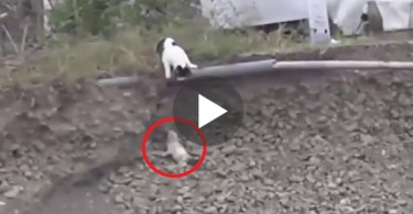 Hero Cat Rescues A Tiny Puppy Stuck In Ditch. Touching Moment !