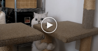Cat Is Very Confused By Ringing Doorbell. LOL. Hilarious Reaction !
