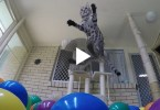 When This Cat Noticed A Room Full With Colorful Balls , She Instantly Went Crazy