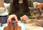 Cat Simply Can`t Resist The Smell Of Tasty Food