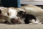 Kind Husky Mom Adopts And Cares For Tiny Kitten