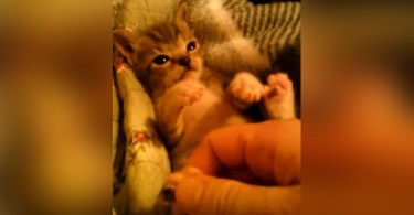 Squeaky Tiny Kitten Loves Playing With His Human