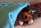 Before Sleeping This Cute Little Kitten Is Hugging His Teddy Bear