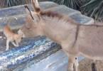 Stray Kitten And Donkey Cuddling Together