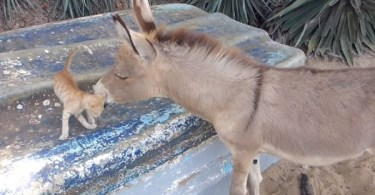Stray Kitten And Donkey Cuddling Together