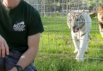 This Is Why You Should Never Turn Your Back On Big Cats!