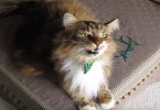 Maine Coon Cat Loves Singing All The Time