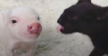 Rescued Baby Pig Raised By Domestic Cats, Acts Like a Real Kitty