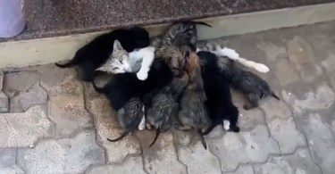 Generous Cat Spotted Giving Milk To 8 Pups Neglected By Their Mom