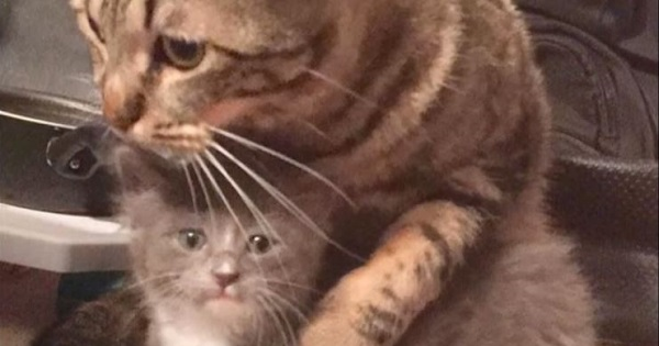 Rescue Cat Welcomes Stray Kitten, Cuddles Him And Treats Him As His Own