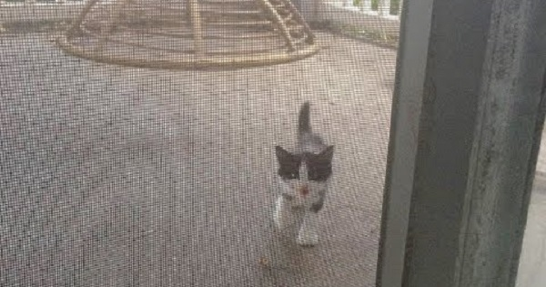 Stray Kitten Appeared At The Door Begging To Come Inside And Turns Out Itu0027s A Miracle & Stray Kitten Appeared At The Door Begging To Come Inside And Turns ...
