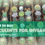 Succulents for Giveaways in the Philippines (Photo Credits)