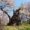 日本最古の桜【山高神代桜まつり】場所とアクセス方法や駐車場&開花時期情報をチェック!
