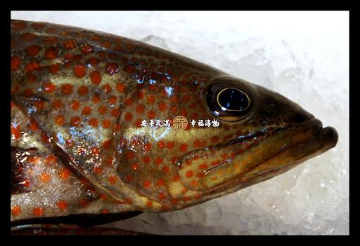 現流海釣 紅點石斑   安平丸滿 幸福海物