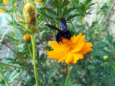 Bumble bee on cosmos flower