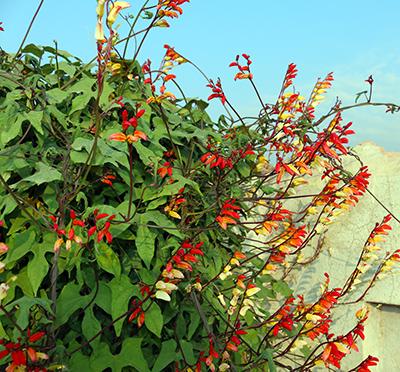 Ipomoea lobata vine flowers