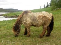 Shaggy Icelandic Horse still in the process of loosing his winter coat