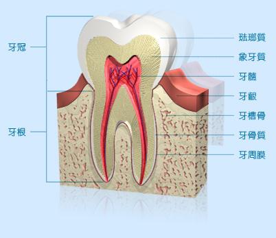 牙齒構造解析