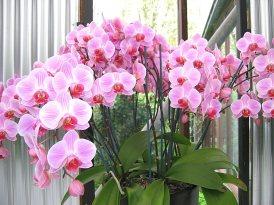 50 orchidée rose