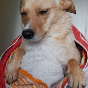 DSCN2865 - Routine du dimanche soir d'Happy (shampoing Trixie, oreilles de porc offerts par Bitiba)
