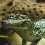 Caïman à lunettes (Caiman crocodilus)