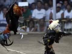 A local cockfight in the Philippines