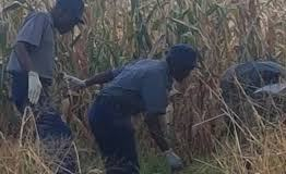 Police Officers in maize field