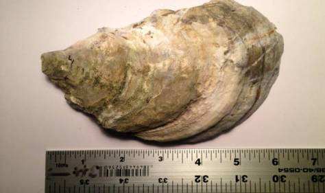 "6""+ oyster shell found on the pier by Anusha."