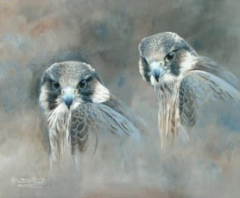 'Young peregrine study'. Alastair Proud