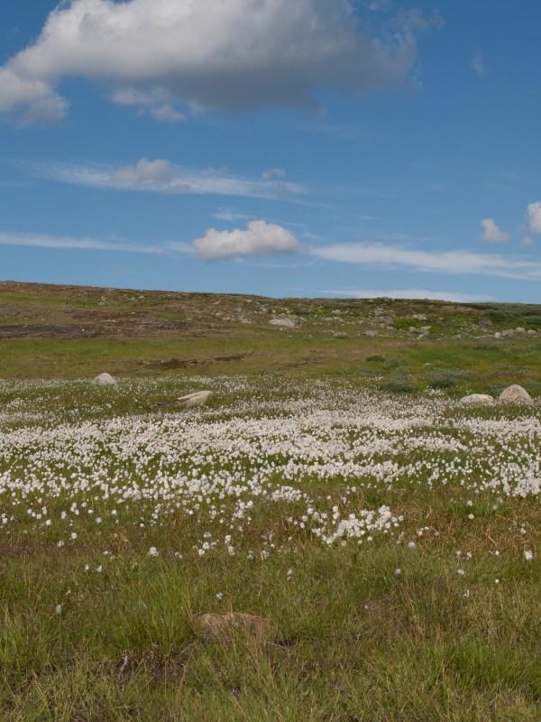 Flora Hardangervidda
