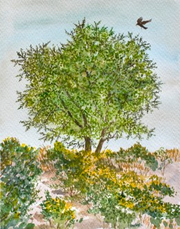 Young California Live Oak, by David Hardesty, watercolor
