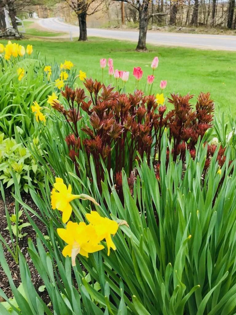 spring flowers in bloom in Maine
