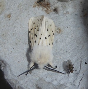 White Ermine_12 June 18_Harehope
