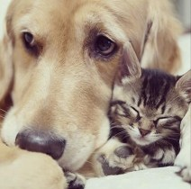 Golden Retriever Adopts Kitten Rejected By Her Mother