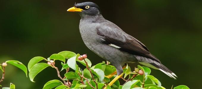 Harga Burung Jalak Kebo Anakan Jantan Gacor Mata Kuning Blorok Daftar Harga Tarif