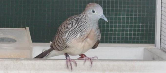 Harga Burung Perkutut Bangkok Gacor Ring Anakan Sepasang Daftar Harga Tarif