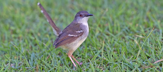 Burung Ciblek Si Burung Kecil Suara Keras