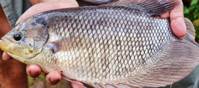 Manfaat Dan Update Harga Ikan Gurame 1 Kg Daftar Harga Tarif