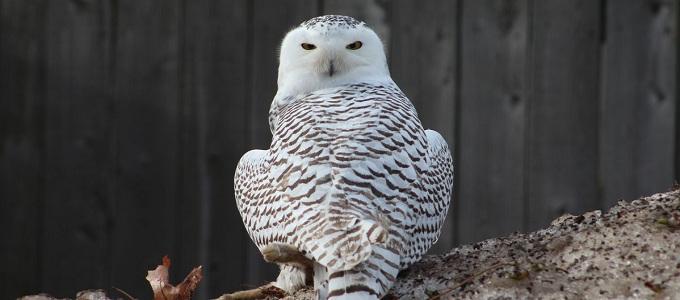Karakteristik Cara Memelihara Dan Harga Burung Hantu Putih Daftar Harga Tarif