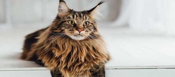 Info Ciri Fisik Dan Harga Kucing Maine Coon Di Pasaran Daftar Harga Tarif