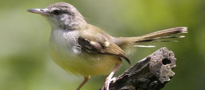 Kisaran Harga Burung Ciblek Sawah Tebu Kristal Gunung Daftar Harga Tarif