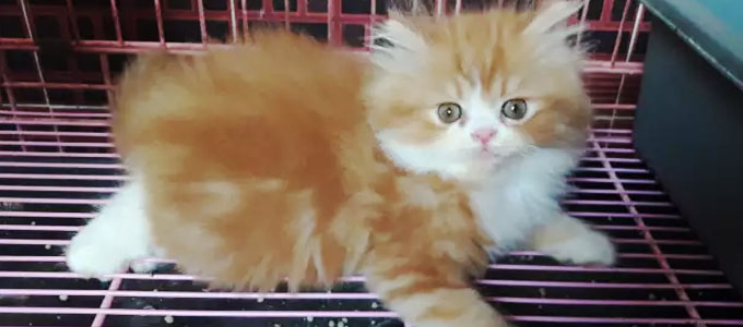 Kucing Persia Flatnose - www.olx.co.id