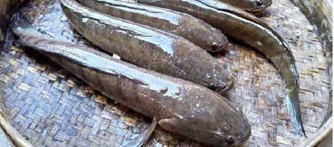 Harga Ikan Gabus Per Kg Dan Per Ekor Daftar Harga Tarif
