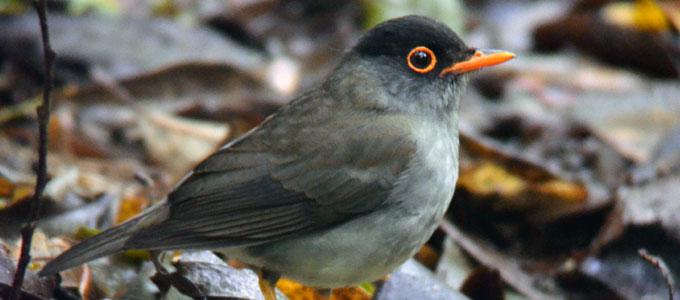 Harga Burung Sikatan Londo Daftar Harga Tarif