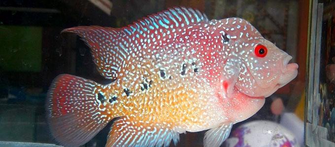 Info Terkini Tips Mencerahkan Warna Ikan Louhan Yang Pudar Daftar Harga Tarif